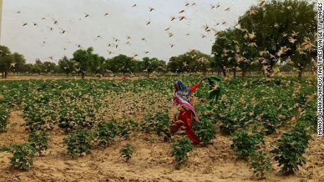 New Delhi dalam keadaan siaga tinggi setelah belalang gurun mengerumuni Gurgaon yang berdekatan