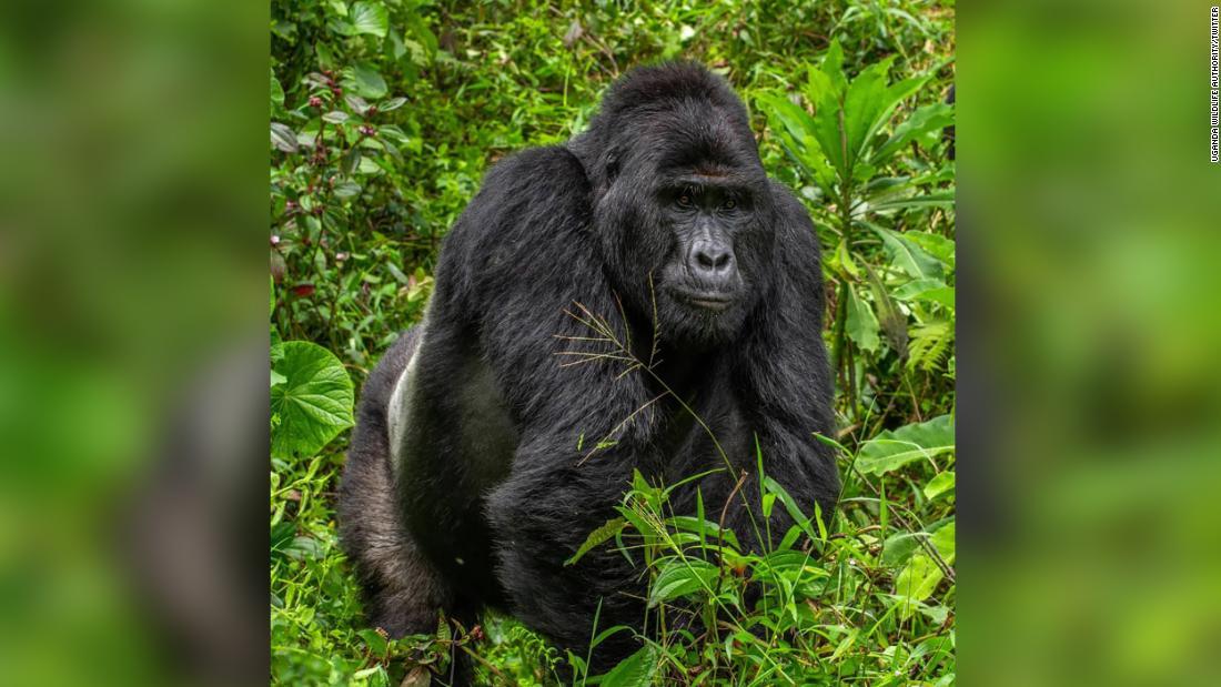 Rafiki: Pembunuh gorila silverback langka yang dipenjara selama 11 tahun