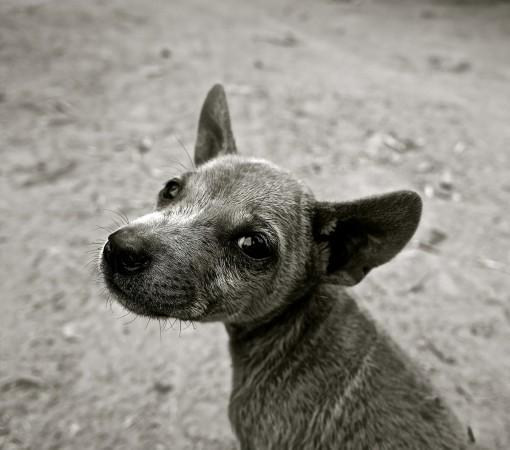 Anjing tanah