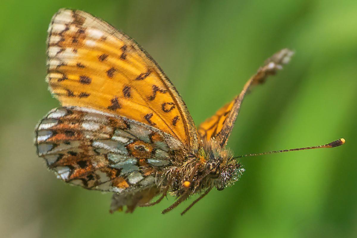 Fotografer mengambil gambar luar biasa dari kupu-kupu langka yang terbang dari bunga
