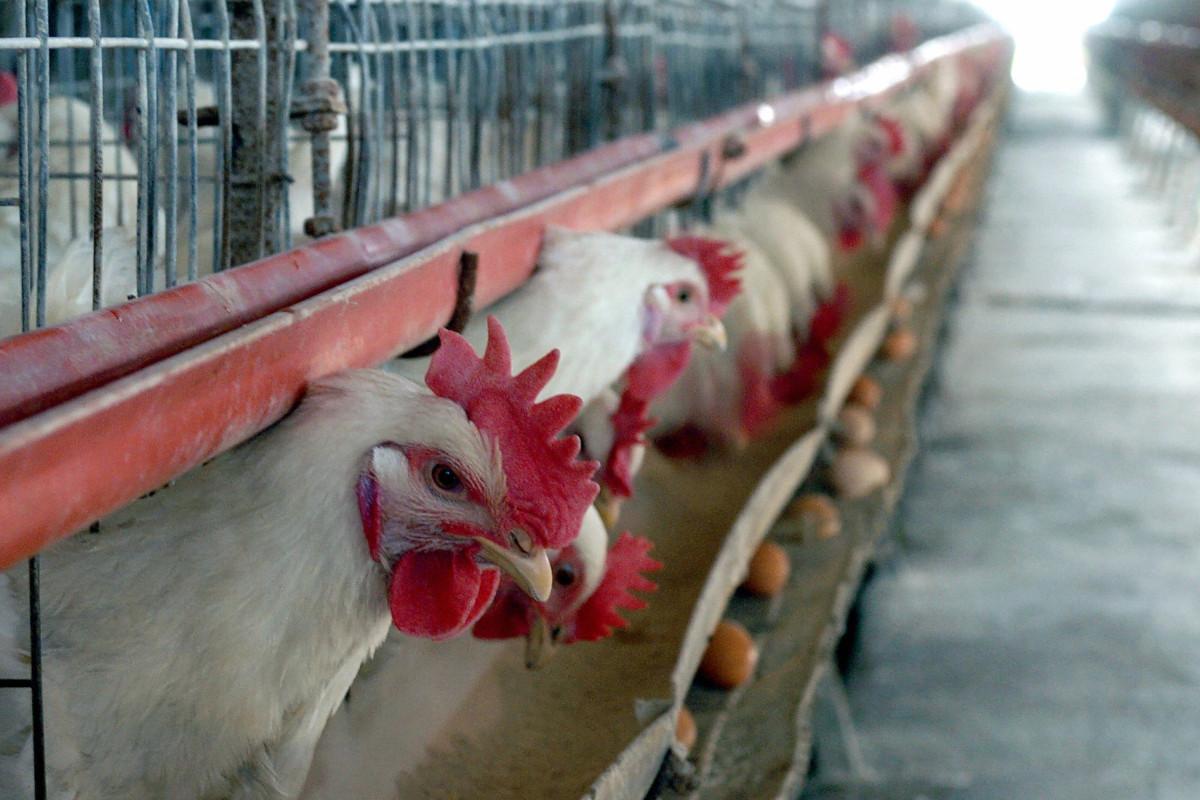 KFC mengeluarkan laporan yang merinci penyakit kesehatan ayam