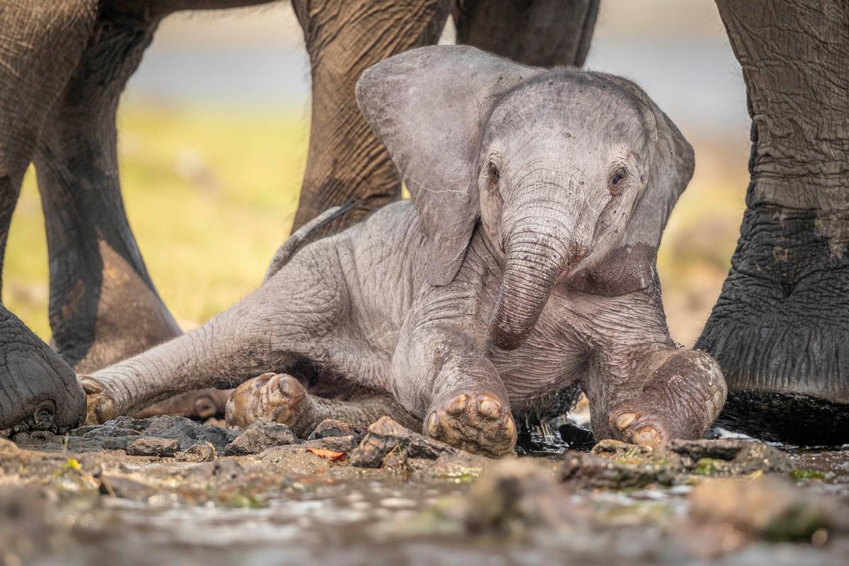 Mama gajah membantu bayi mengambil langkah pertama setelah jatuh