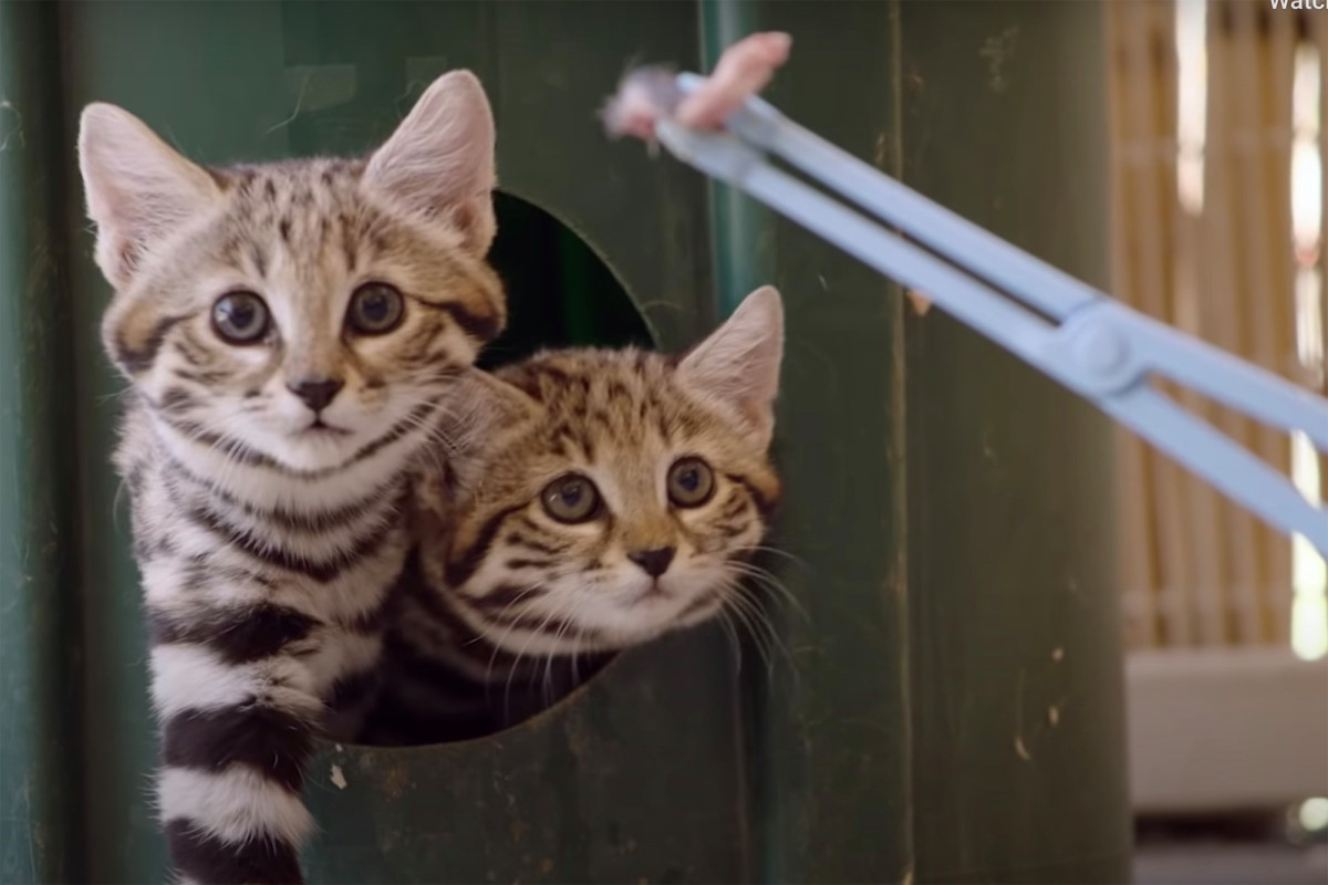 Zoo membagikan video menggemaskan 'kucing super paling mematikan di dunia'