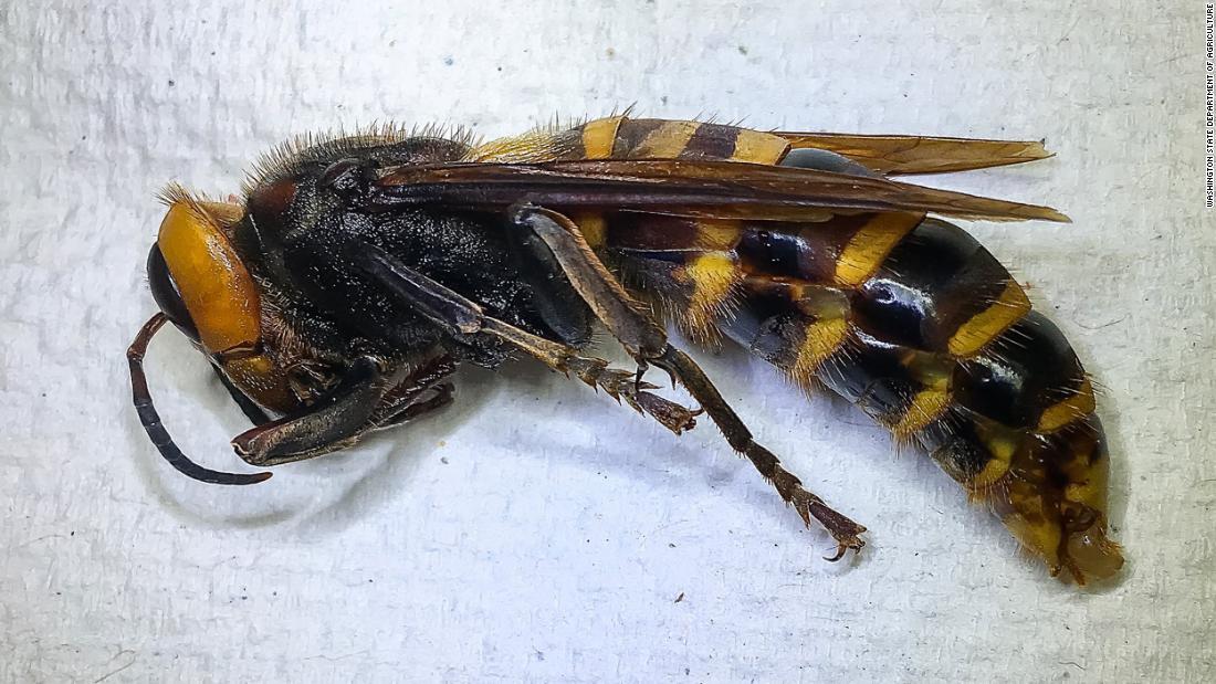 'Hornet Pembunuhan' pertama kali terperangkap di negara bagian Washington