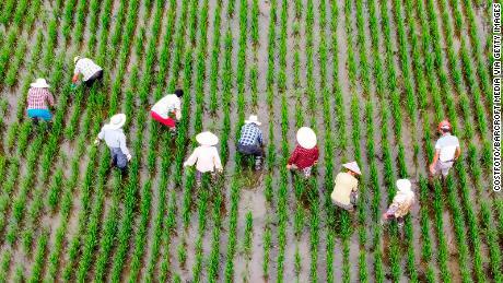 Pekerja pertanian mencabut rumput liar dari sawah di Taizhou, Provinsi Jiangsu, Cina, pada 8 Juli.