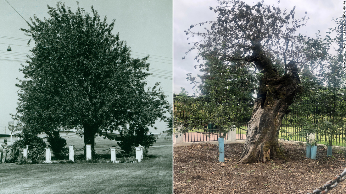 Pohon Apel Tua di Vancouver, Washington, mati pada usia 194 tahun