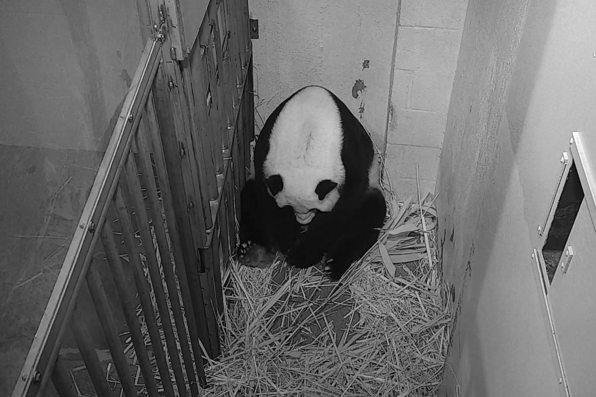 Kelahiran anak panda menghadirkan 'momen kebahagiaan murni yang sangat dibutuhkan'