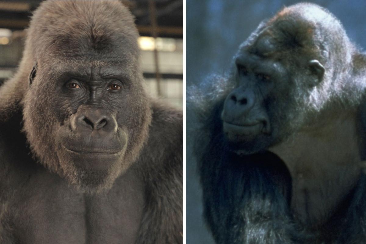 Yang Perlu Diketahui Tentang Gorila Yang Menginspirasi Film Disney Plus